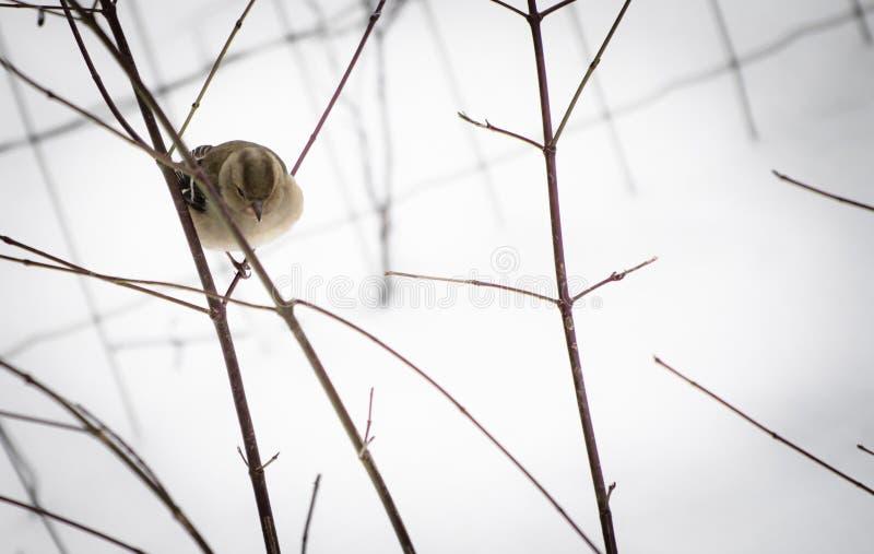 Portret śliczny głodny wróbel używać zimne temperatury i śnieżna zima szuka, dla jedzenia zdjęcie royalty free