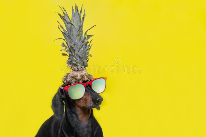 Portret śliczny jamnika pies, czarny i dębny, z słońc szkłami trzyma ananasowymi na głowie na jaskrawym żółtym tle Plażowy styl zdjęcia stock