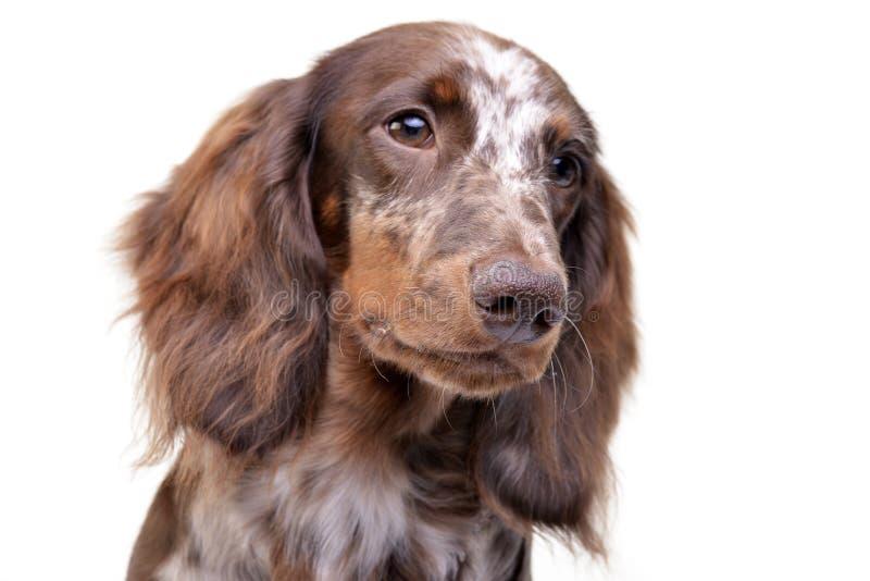 Portret śliczny jamnika szczeniak fotografia stock