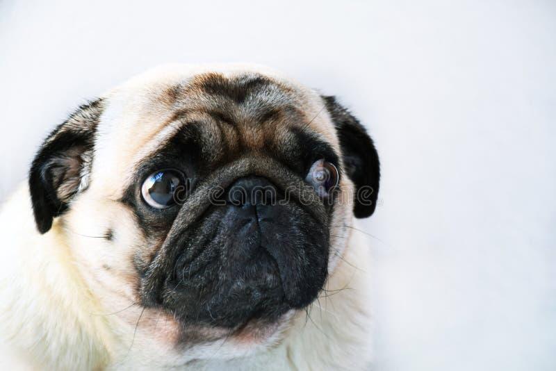 Portret śliczny mopsa pies z dużymi smutnymi oczami i pytajnym spojrzeniem na białym tle zdjęcie stock