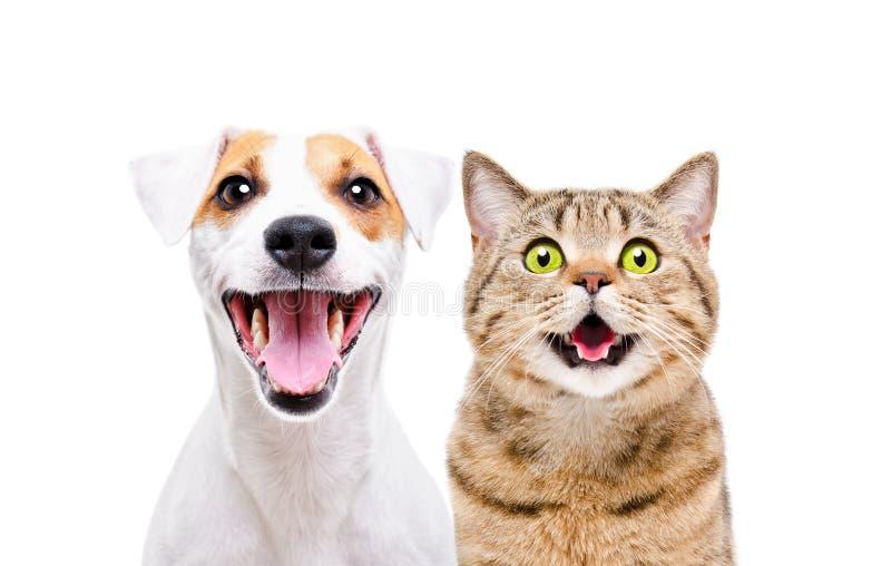Portret śliczny psi Jack Russell Terrier i rozochoconego kota Szkocki Prosty zdjęcia stock