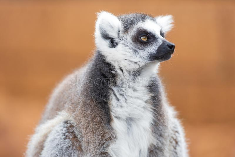 Portret śliczny ringowy ogoniasty lemur, lemur Catta obraz royalty free