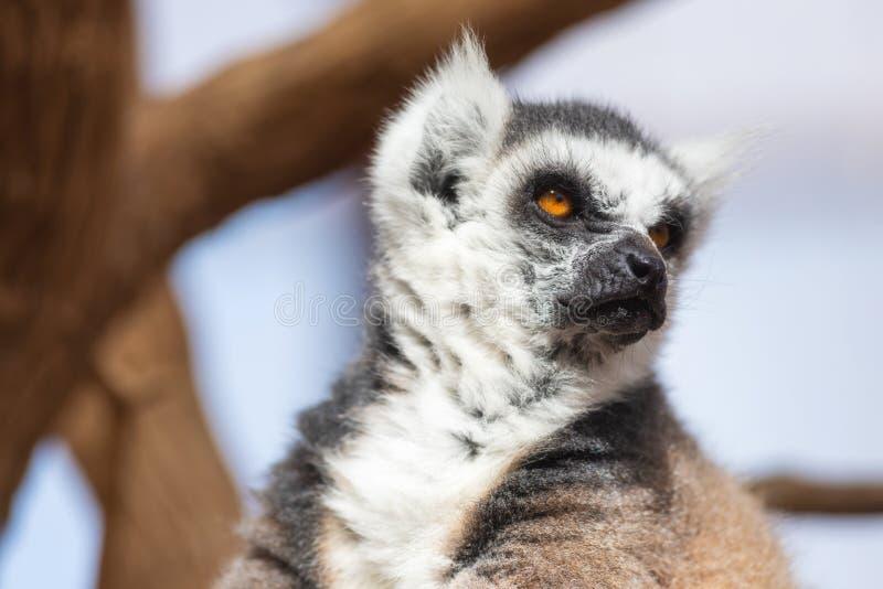 Portret śliczny ringowy ogoniasty lemur, lemur Catta zdjęcie stock