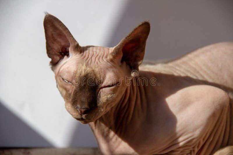 Portret śliczny sphynx kot z światłem słonecznym zdjęcie stock