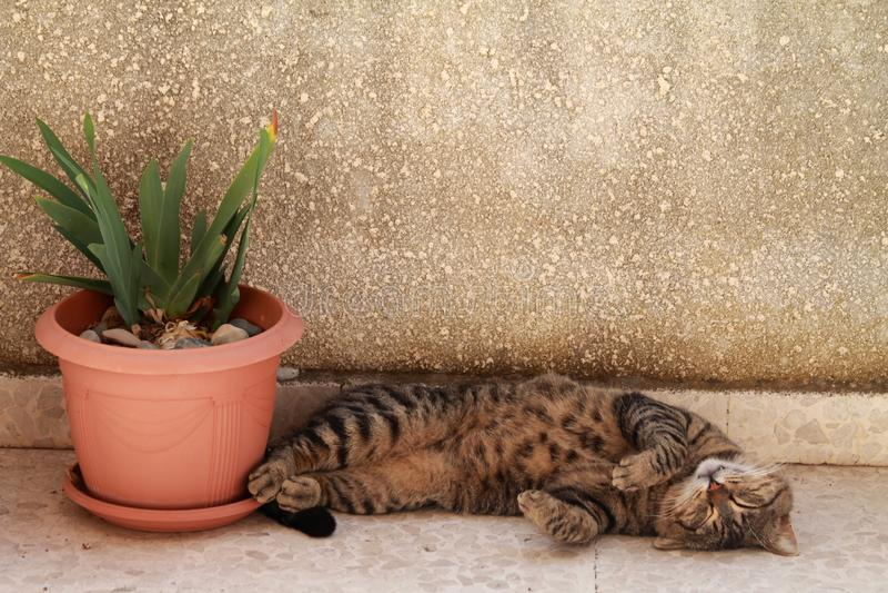 Portret śliczny sypialny tabby kot fotografia stock