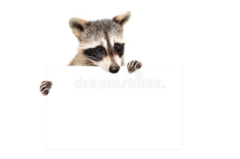 Portret śliczny szop pracz z sztandarem fotografia stock