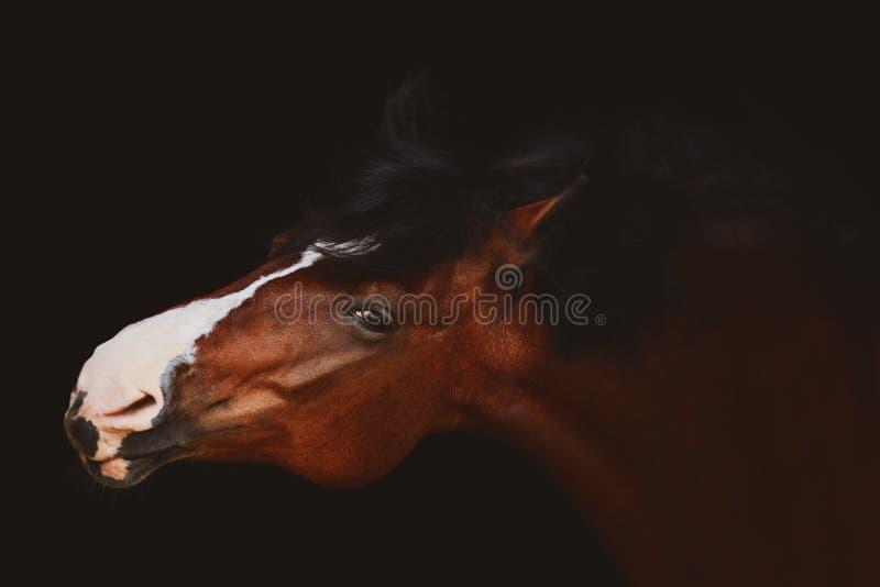 Portret śmiesznego konia odizolowanego na czarnym tle obraz royalty free