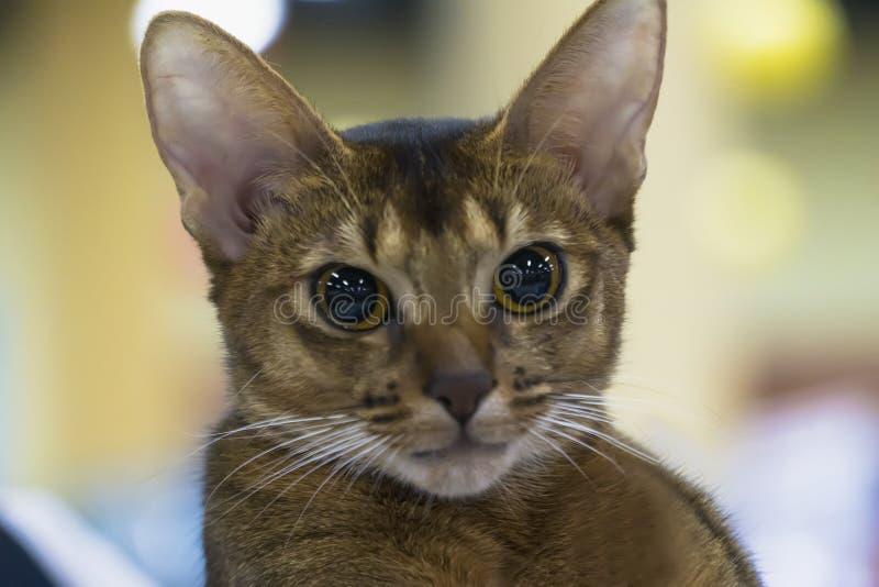 Portret śmieszny mądrze Abisyński kot zdjęcia stock