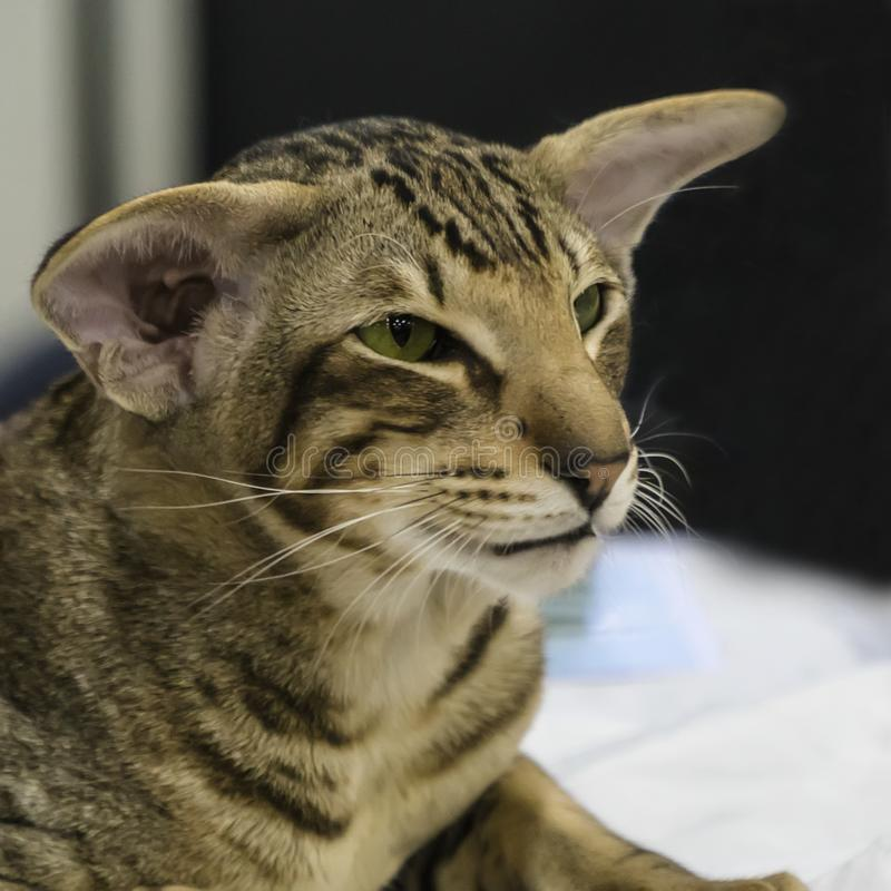 Portret śmieszny mądrze Orientalny Shorthair kot zdjęcia stock