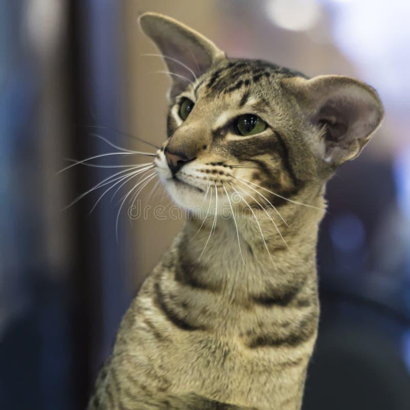 Portret śmieszny mądrze Orientalny Shorthair kot zdjęcie royalty free