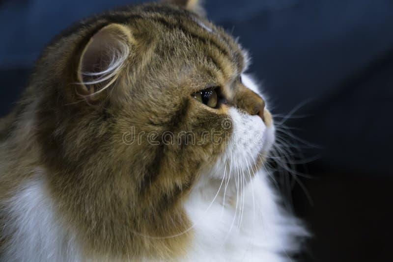 Portret śmieszny mądrze Szkocki prosty longhair kot zdjęcie royalty free