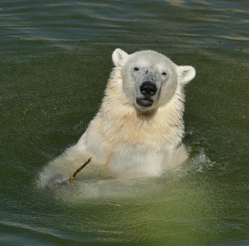 Portret śmieszny młody niedźwiedź polarny w wodzie lapland obraz stock