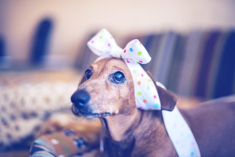 Portret śmieszny pies który z nadzieją patrzeje kamerę obrazy royalty free
