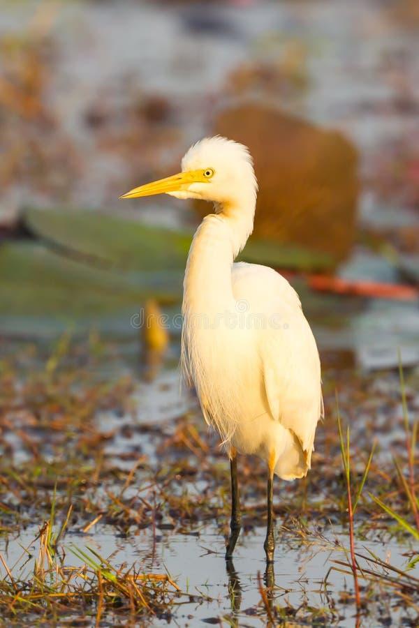 Portret Średni Egret obrazy royalty free