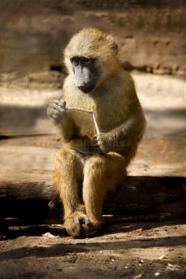 Portret Żółty pawianu dziecko zdjęcia royalty free
