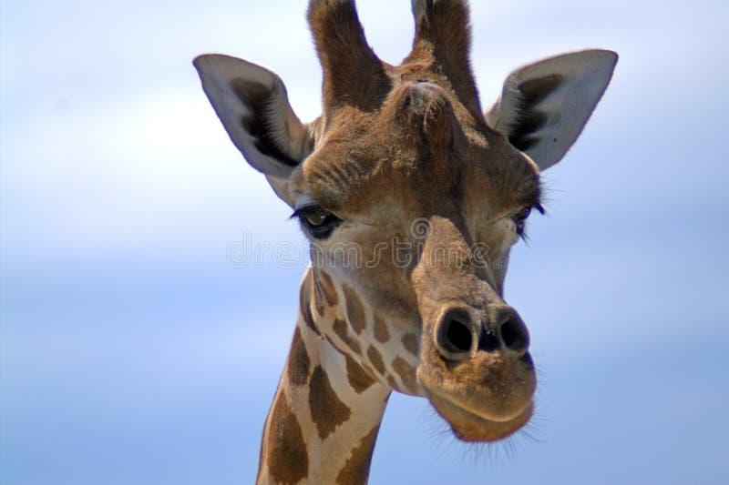 Portret żyrafa przeciw niebu obrazy royalty free