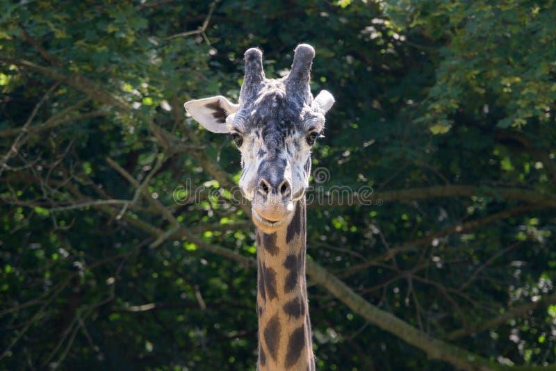 Portret żyrafa z zakończeniem na w górę głowy z Zielonym Obfitolistnym tłem obraz royalty free
