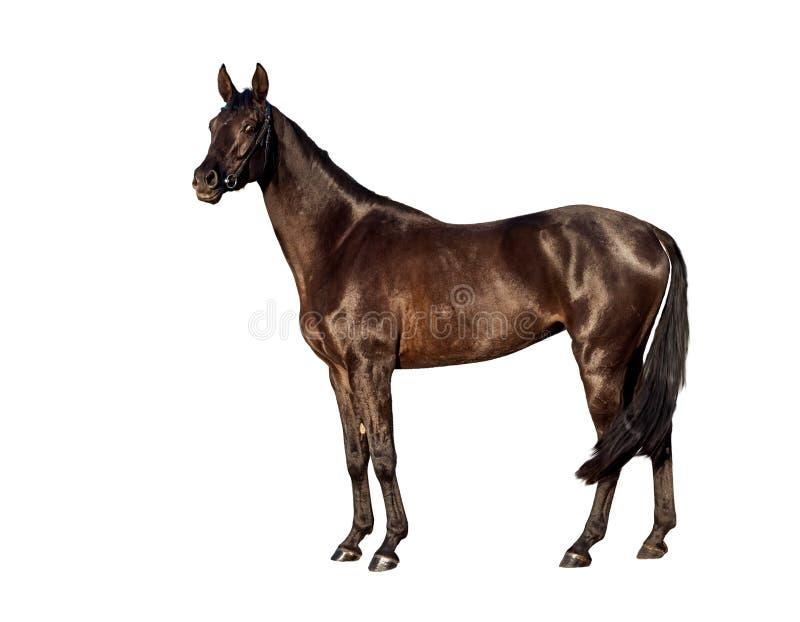 Portret του νέου αλόγου κόλπων που απομονώνεται σε ένα άσπρο υπόβαθρο στοκ εικόνα με δικαίωμα ελεύθερης χρήσης