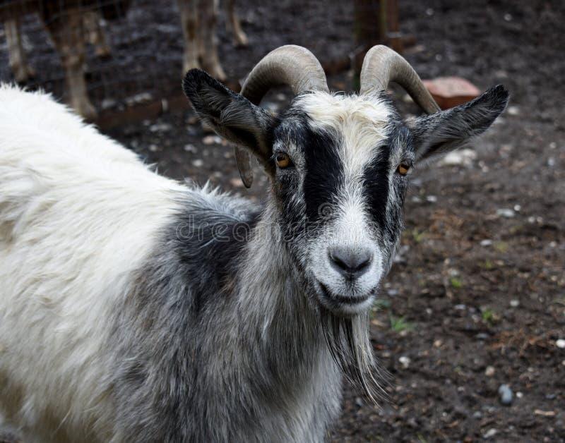 Portret козы с рожком стоковые фотографии rf