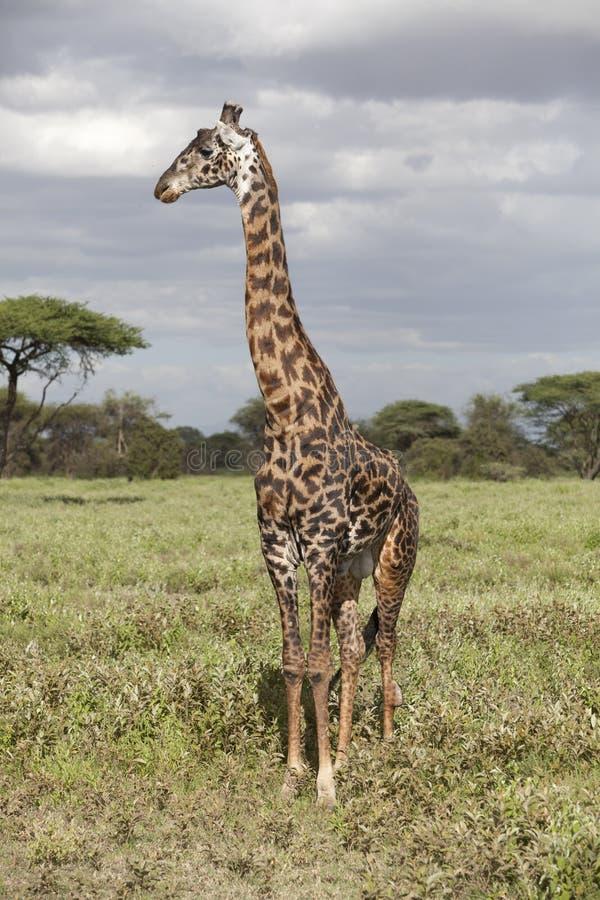Portret afrykańska byk żyrafa zdjęcie royalty free