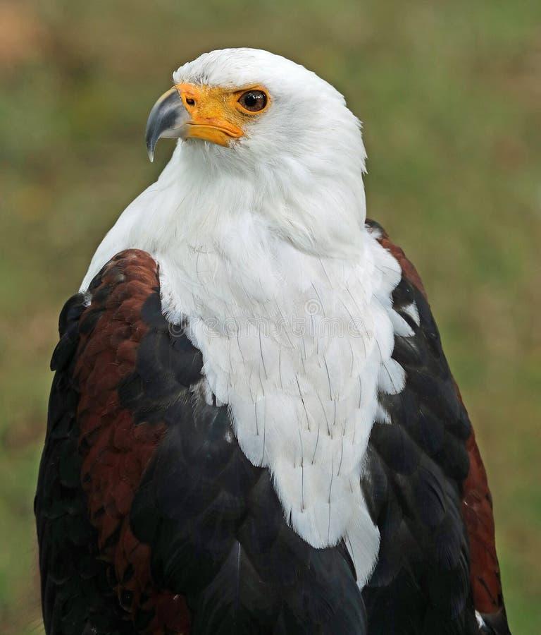 Portret Afrykański Denny Eagle zdjęcia stock