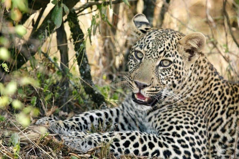 Portret als een luipaard royalty-vrije stock foto