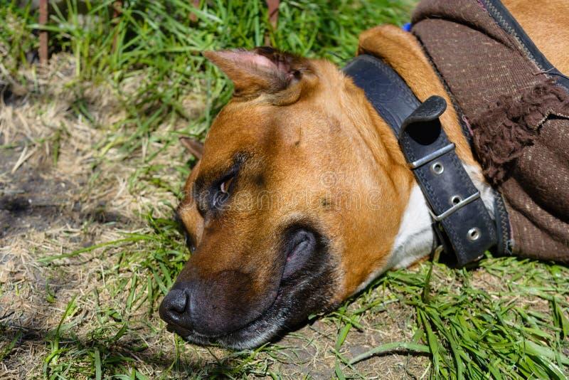 Portret Amerikaanse Staffordshire Terrier royalty-vrije stock fotografie