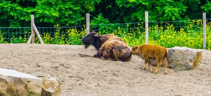 Portret amerykański bizon z łydkowym, blisko zagrażającego żubra specie od północnego America obrazy stock