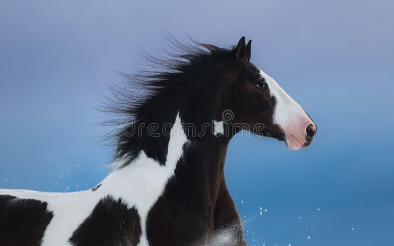Portret Amerykański farba koń na zmroku - błękitny tło zdjęcie royalty free