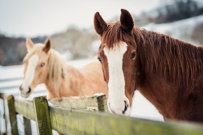 Portret Appaloosa i Amerykański farba koń w zimie obrazy royalty free
