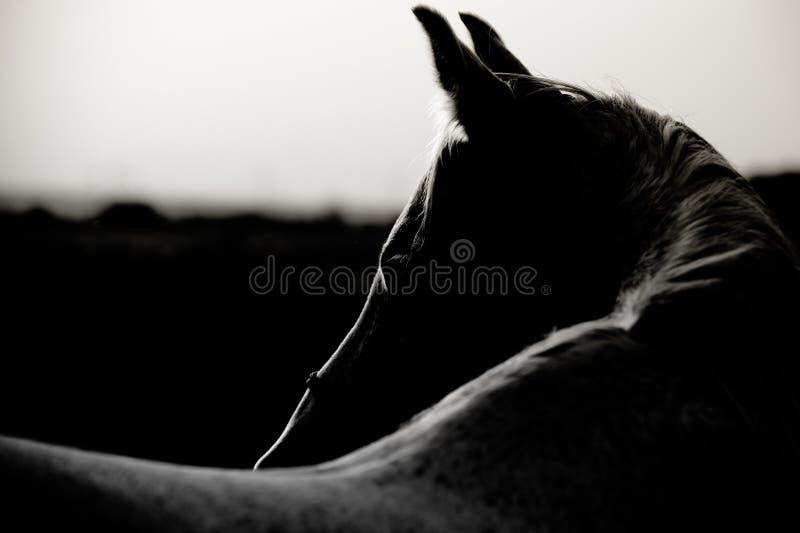 Portret Arabski koń zdjęcia stock