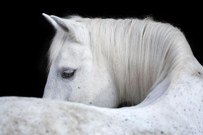 Portret Arabski koń na czarnym tle obraz royalty free