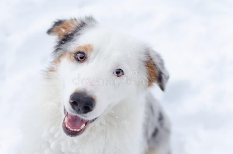 portret australijska baca Młodzi energiczni psów spacery zdjęcia stock