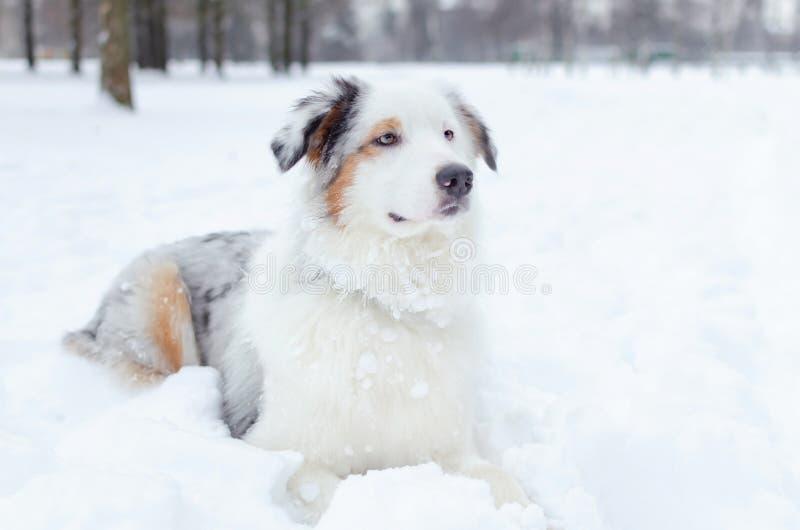 portret australijska baca Młodzi energiczni psów spacery zdjęcie royalty free