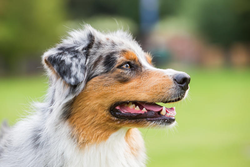 Portret Australijski Pasterski pies fotografia royalty free
