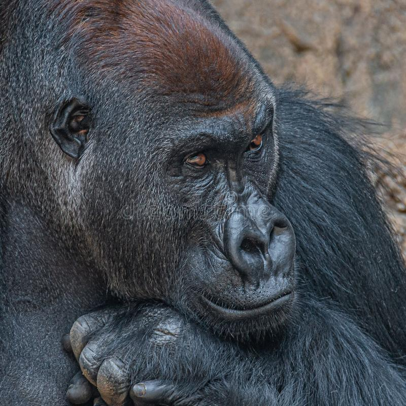 Portret bardzo spokojny ale potężny alfa samiec afrykanina goryl zdjęcie stock