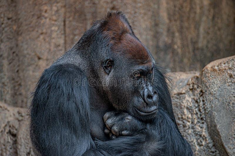 Portret bardzo spokojny ale potężny alfa samiec afrykanina goryl zdjęcia stock