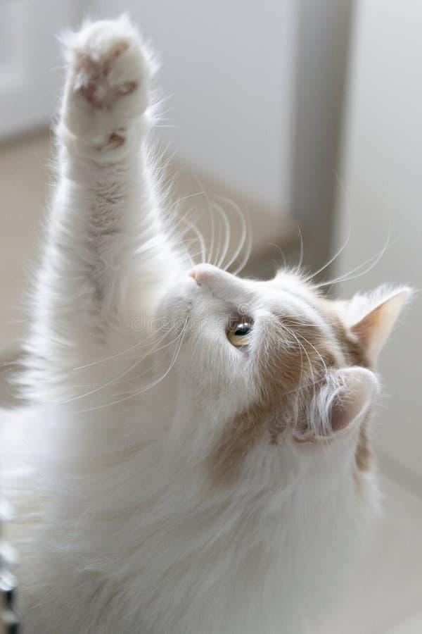 Portret beżu kot na lekkim tle Łapa podnosząca w górę, ciekawiący spojrzenia fotografia royalty free