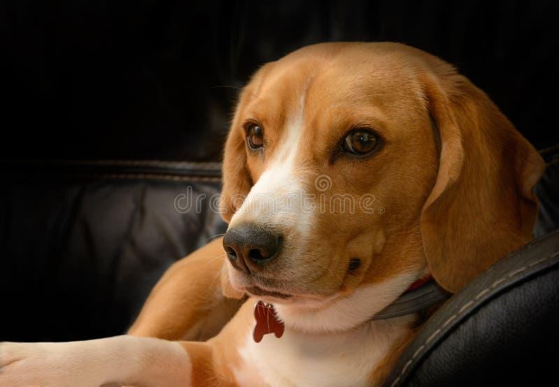 Portret beagle psa żeński lying on the beach na czarnej rzemiennej kanapie zdjęcie stock