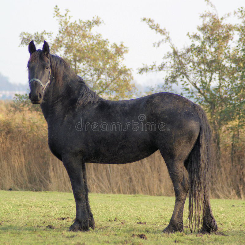 Portret of a beautifull baroc horse. A very beautifull black baroc horse is awaiting to be shot by my camera royalty free stock image