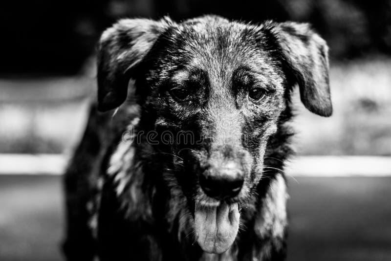 Portret bezdomny pies, czarny i biały fotografia zdjęcie stock