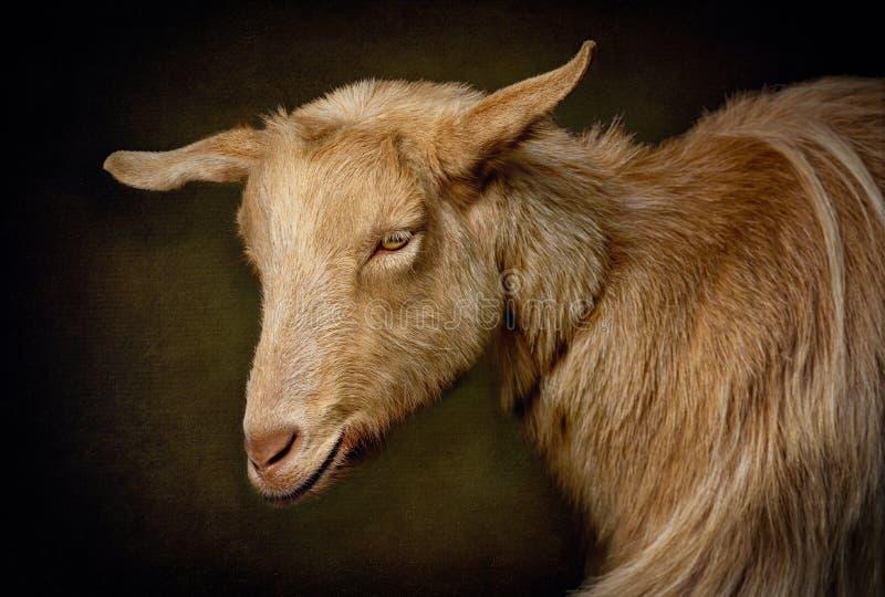 Portret Bezroga Złota Guernsey kózka obrazy stock