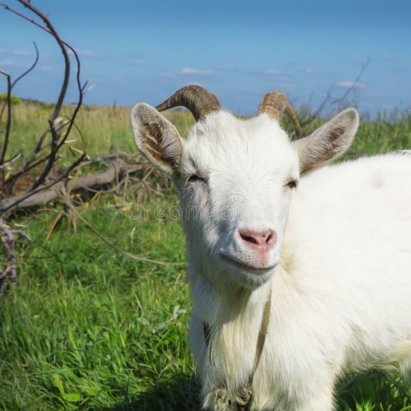 Portret biała kózka grassing łąkowego summe na zieleni obrazy royalty free