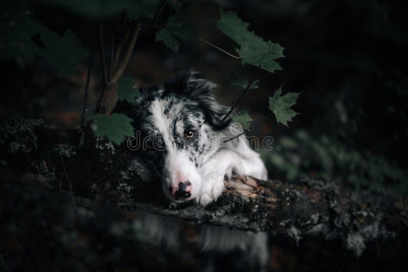 Portret biały i czarny pies z dużymi ucho przyglądającymi w górę dopatrywania fotografia royalty free