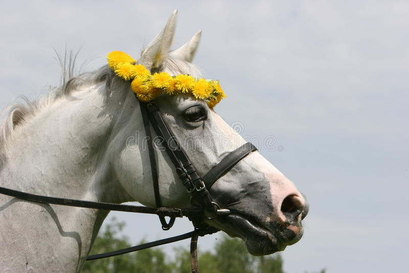 Portret biały koń zdjęcia stock