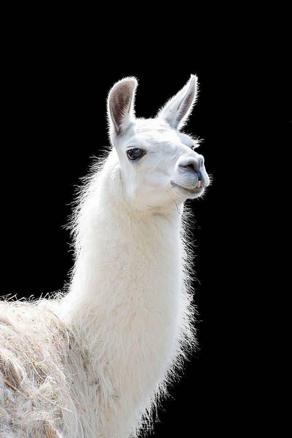 Portret biały lamy Lama glama zdjęcia royalty free