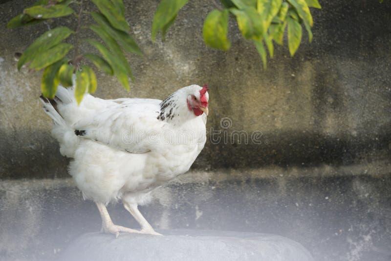Portret biały opierzony kurczak w podwórku w Kuba zdjęcia stock