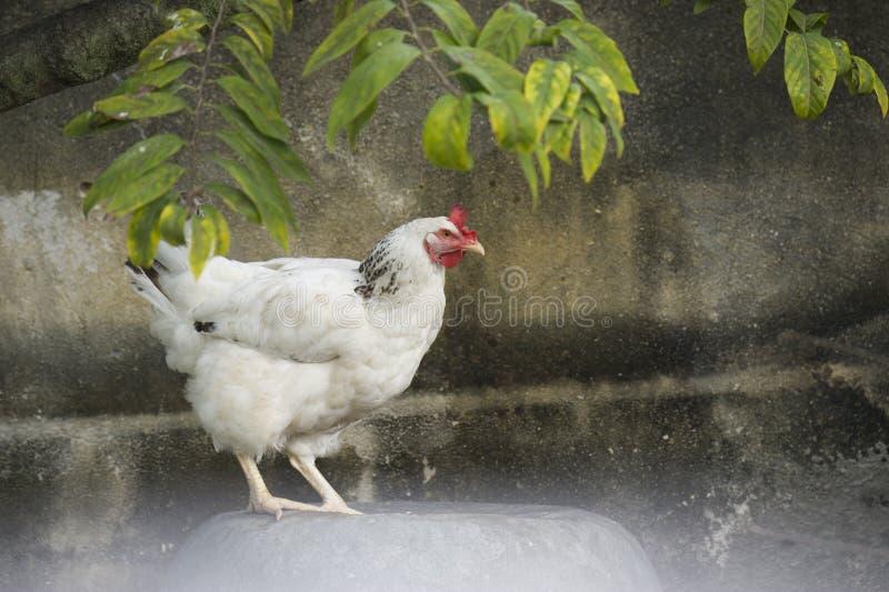 Portret biały opierzony kurczak w podwórku w Kuba obraz royalty free