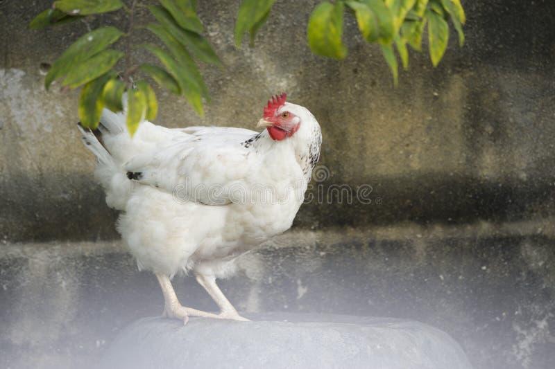 Portret biały opierzony kurczak w podwórku w Kuba fotografia royalty free
