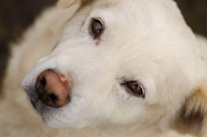 Portret bielu pies z głębokim spojrzeniem zdjęcie royalty free